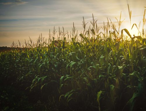 Inoculante reduz uso de nitrogênio em milho e aumenta produtividade em  mais de 100% (Amazonas)