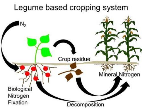 Como as leguminosas promovem a fixação de Nitrogênio no solo