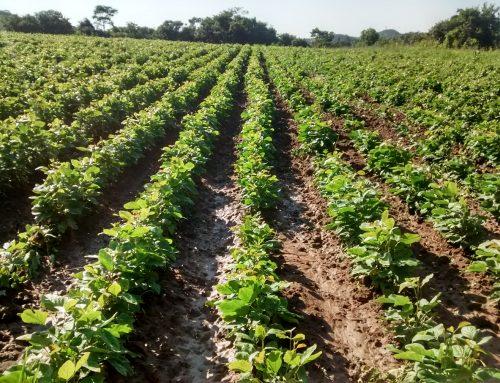 Adubação Verde: Feijão-de-porco como boa alternativa para o cerrado