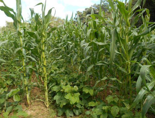 Benefícios do uso do Feijão-de-Porco como Adubo Verde na Cultura de Milho